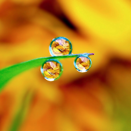 by Fentee  Affandy - Nature Up Close Natural Waterdrops ( macrophotography, waterdrops, flowers )