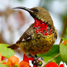 Scarlet-chested Sunbird  Chalcomitra senegalensis (juv) by Chris Krog - Animals Birds ( sunbird.scarlet chested, senekal, chalcomitra )