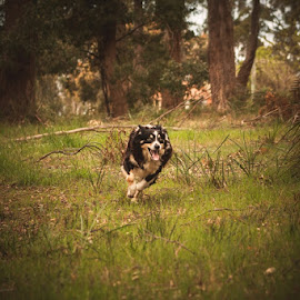 by Denise Bayles - Animals - Dogs Running