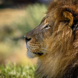 Lion by William Sawtell - Animals Lions, Tigers & Big Cats ( king of the jungle, lion, nature, wildlife )
