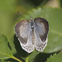 Himalayan Pale Hedge Blue
