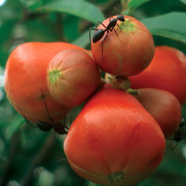 Tomato Tasters by Ayan Raha - Nature Up Close Gardens & Produce ( hanging, nature, fruits, trees, ants,  )