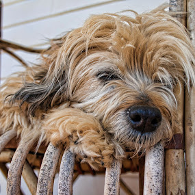 Smoochy by Carole Pallier  - Animals - Dogs Portraits ( furry, pet, fur, paws, sleeping, dog, animal )