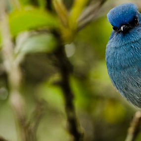 Curiosity by Aritra Sur - Animals Birds ( nature, curiosity, blue, bird photos,  )