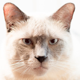 Siamese by Charles Birch - Animals - Cats Portraits ( high key, cat, siamese cat, siamese )