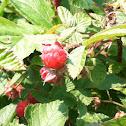 Boulder raspberry