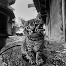 kitty by Onur Pınar - Animals - Cats Kittens
