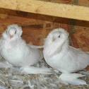 Saint Pigeon