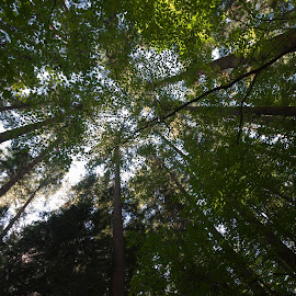 Standing Amongst the Giants by Garry Dosa - Nature Up Close Trees & Bushes ( greeen, trees, forest )