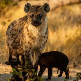 Hyena and Pup by Maricha Knight van Heerden - Animals Other Mammals ( at the den, dawn, female, coming back from the hunt, hyena-pup, nocturnal, pup, rare sighting, sucklings, maternal, hyena )
