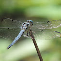 Great Blue Skimmer (male)