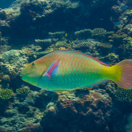 Parrotfish by Colin Davis - Animals Fish ( colourful, fish, parrotfish, rainbow )