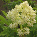 Red Elderberry Blossoms