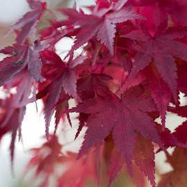 Autumn leaves by Masaki Yamamoto - Nature Up Close Leaves & Grasses ( plant, autumn leaves, beautiful, rustic, maple, okuizumo town, red, japan, nature, season, autumn, no people, outdoor, shimane prefecture, october, multiple, closeup,  )