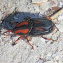 Palmetto Weevil