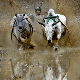 Cow Race by Pimpin Nagawan - Sports & Fitness Other Sports (  )