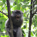 Crab-eating macaque or Long Tailed macaque