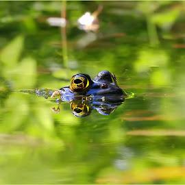 Frog of the Bog by Dennis Ba - Animals Amphibians ( autumn, frog, pond )