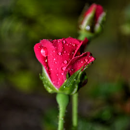 rosee by B Thottoli - Nature Up Close Gardens & Produce ( red, artistic, garden, natural, flower )
