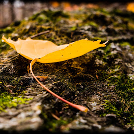 Laid to Rest by Ken Brown - Nature Up Close Leaves & Grasses ( park, green, moss, yellow, leaf, stanley eddy park, landscape, log, bokeh, weathered, cottonwood, nature, autumn, fall, bark, decaying )