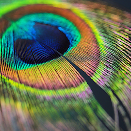 Peacock feather by Dipali S - Digital Art Abstract