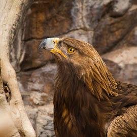 Golden Eagle by Gannon McGhee - Animals Birds ( eagle, zoo, arizona, phoenix, golden )
