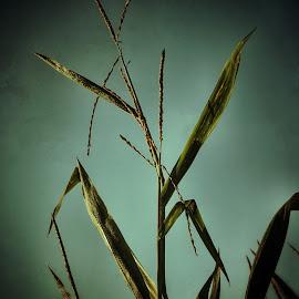 Sunbathing corn by Steven Maerz - Artistic Objects Other Objects ( nature, beauty, sunrise, morning, corn )