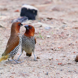 Who's the Boss? by Somraj Gupta - Animals Birds ( spotted, munia, interaction, nadia, activity )