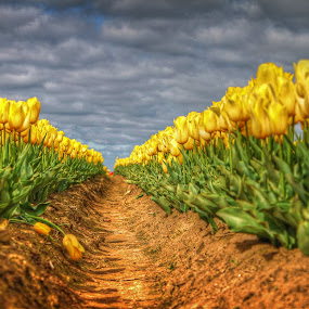 Surreal Yellow by Todd Klingler - Flowers Flower Gardens ( clouds, field, sky, hdr, green, tulip, yellow, flower,  )
