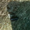 Pillbug (roly-polies)