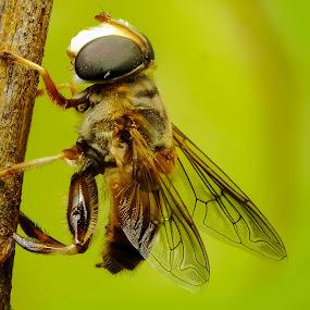 Mosca das flores - família Syrphidae by Rui Santos - Animals Insects & Spiders ( mosca das flores - família syrphidae, abaetetuba, macro, flores, raynox, belém, amazônia, pará, fuji, brasil, mosca )