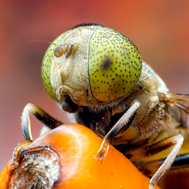 Hoverfly-Spotted Eye by Percy (ReverseLensOnlyMacroPhotography) - Animals Insects & Spiders