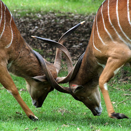 Nyala by Ralph Harvey - Animals Other Mammals ( nyala, wildlife, ralph harvey, marwell zoo, animal )
