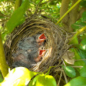 Red Whiskered Bulbul (nestlings)