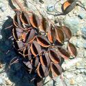 Southern Silky Oak