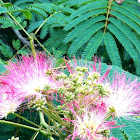 Mimosa - Persian Silk Tree