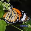 butterfly[monark butterfly]