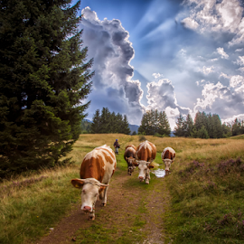 Cows on their way to a coral by Stanislav Horacek - Landscapes Prairies, Meadows & Fields