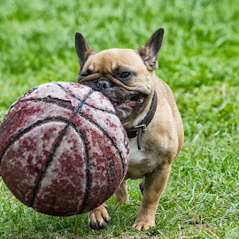Ball Time by Sue Niven - Animals - Dogs Playing ( frenchie, playing, french bull dog, ball, dog )