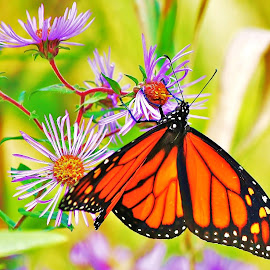 Monarch Shines by Allan Fritz - Animals Insects & Spiders ( nature, monarch, butterflys, butterfy, flowers, insects, animal )
