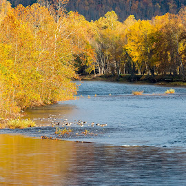 Geese framed by Yellow by Jim Seese - Novices Only Landscapes ( bird, west virginia, autumn, autumn colors, yellow, geese, river,  )