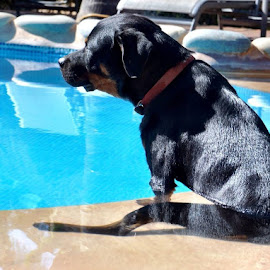 Black Dog Cooling in Pool by Lori Fix - Animals - Dogs Portraits