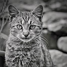 *** by Katka Kozáková - Animals - Cats Portraits ( cat )