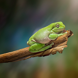 silent by Robert  Fly - Animals Amphibians ( frog, green, amphibian, froglovers, frogs )