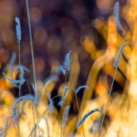Blue Dancers by Hunter Ten Broeck - Landscapes Prairies, Meadows & Fields ( blue grama, grass, texture, meadow, light )
