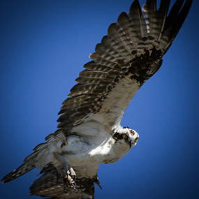 End Game by Jared Lantzman - Animals Birds ( bird, sky, seahawk, hunting, prey, feathers, birds, hawk, osprey,  )