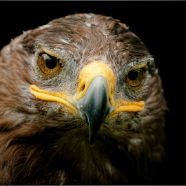 harris hawk by Marcus Franklin - Animals Birds ( bird, harris hawk, feathers, hawk )