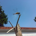 An unknown Dragonfly ( एक अज्ञात भँवीरी )