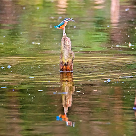 me and my reflection by Kadek Lana - Animals Birds ( bird, kingfisher, wildlife, kadek wismalana, animal )