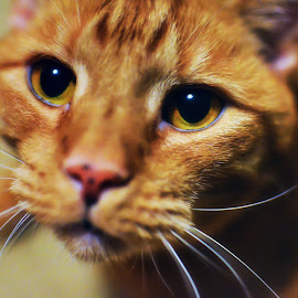by Gregg Rich - Animals - Cats Portraits